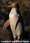 Penguin, Courtesy of, and Copyright by Brent Beaven